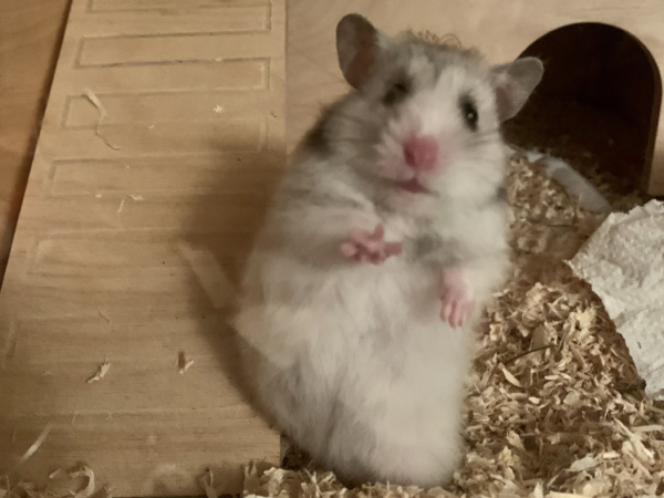 Hamsterhilfe Südwest Elja