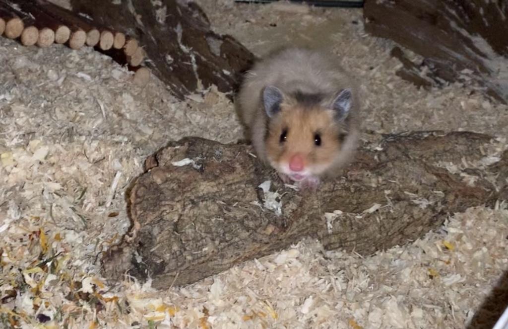 Hamsterhilfe Südwest Elaysha